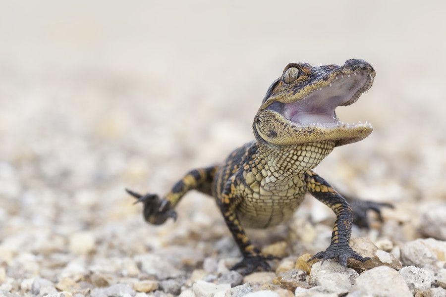 Baby Gator Reptiles And Amphibians Pinterest Animals Reptiles