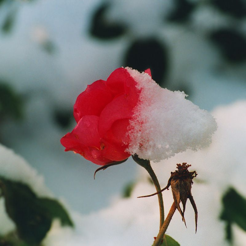 LATE ROSE, EARLY WINTER...