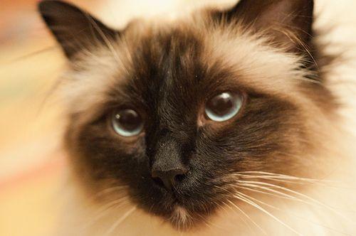 Birman Kittens for sale in any US state Birman kittens
