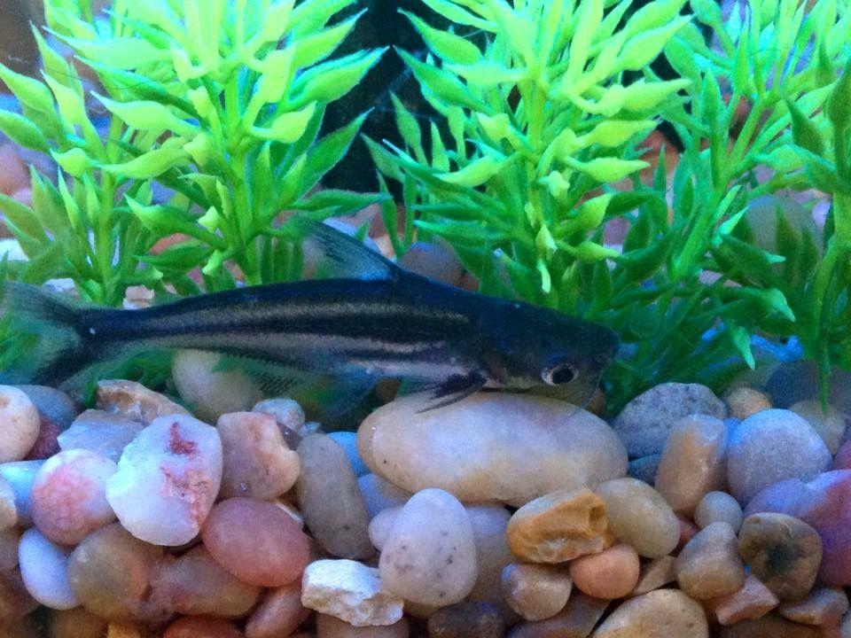 Pangus, the iridescent shark | My Fishies | Freshwater fish, Catfish