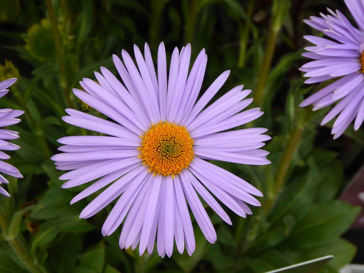 Aster Wartburg Star Cool Plants Plants Perennials