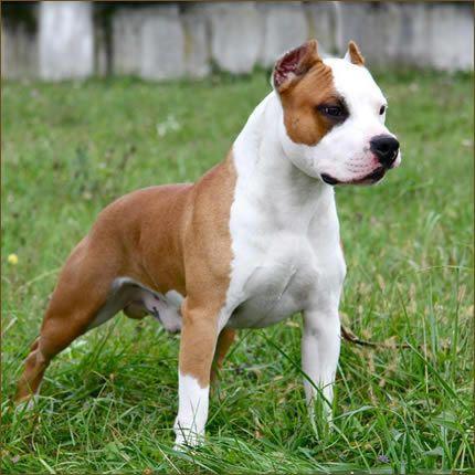 Pin By Patrick Thomas On Beautiful Pitbull Dog Bully Breeds