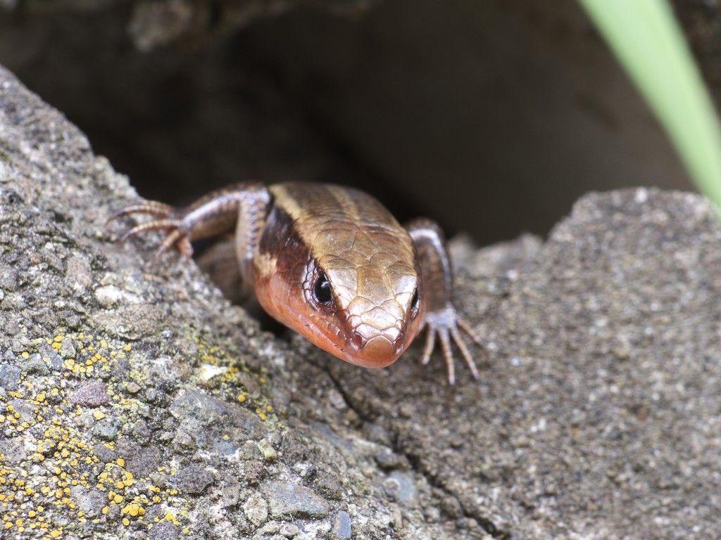 ニホントカゲの画像 P1 5 ニホントカゲ は虫類 トカゲ