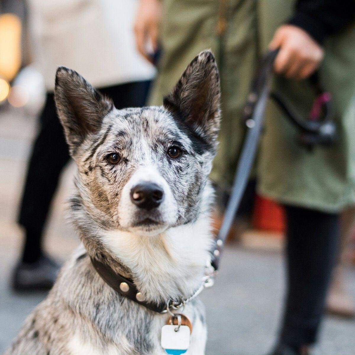 Shiba Inu Australian Shepherd Mix Named Neko Australian