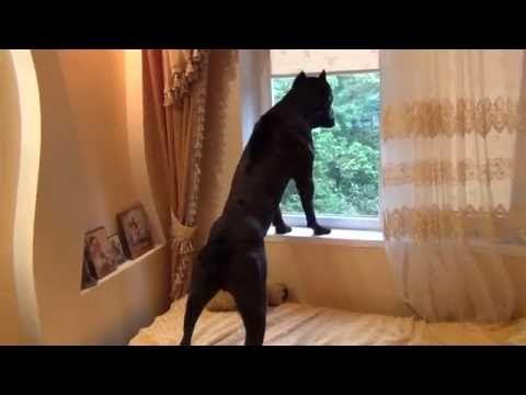 Собака Кане Корсо идет спать и ему не нравиться что его ...