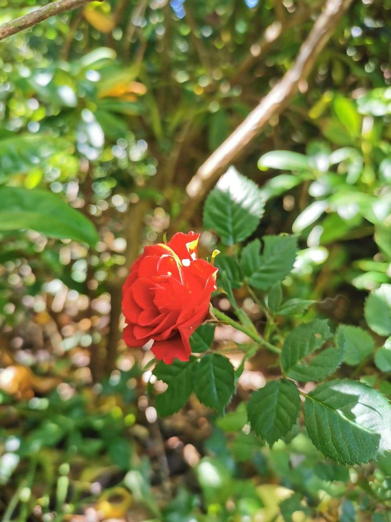 Rose rouge en 2020 | Jardinage bio, Faire un potager ...