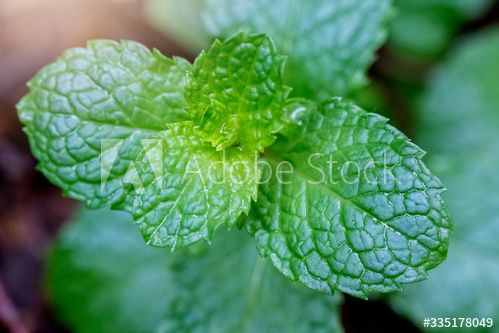 Stock Image: Fresh green peppermint leaves plant with nature