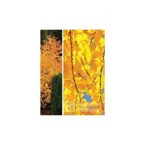 Thompson & Morgan Cercidiphyllum Japonicum (Katsura Tree) 9 Cm Pot X 2 ($29) ❤ liked on Polyvore featuring home, outdoors, outdoor decor, outdoor pots, garden flower pots, outdoor garden decor, flower stem and garden pots