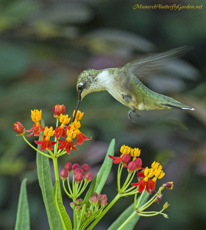 7 Butterfly Flowers For Monarchs And Hummingbirds Bird Butterfly Feeders Pinterest