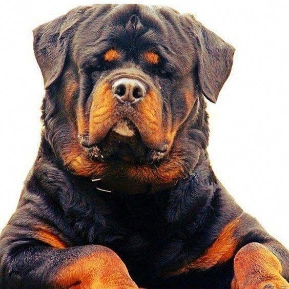 Pin von Dumbmugzy auf rottweiler Rottweiler hund, Hunde