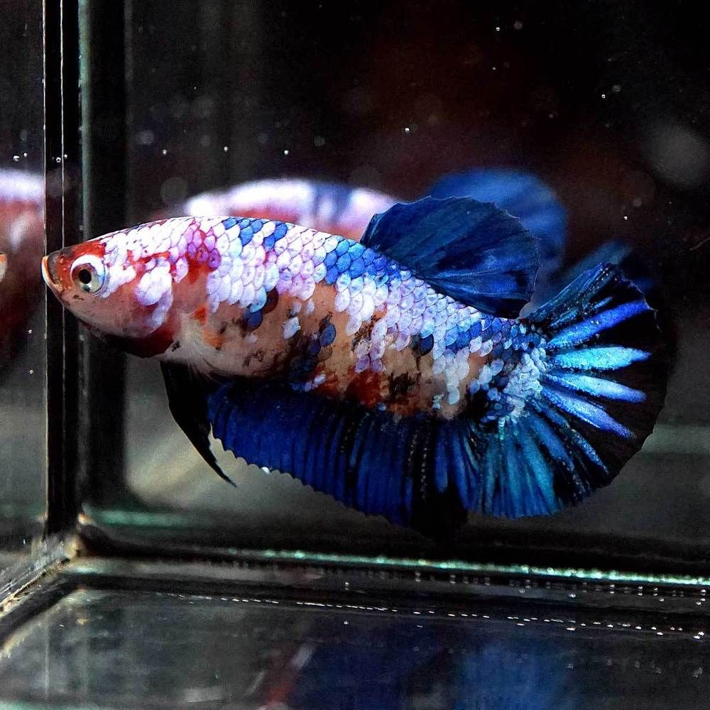 Betta Fish Betta Fish Ideas Bettafish Fishbetta Live Betta Fish Big One Fancy Blue Koi Halfmoon Plakat Hmpk Female 8 Betta Fish Betta Live Fish For Sale