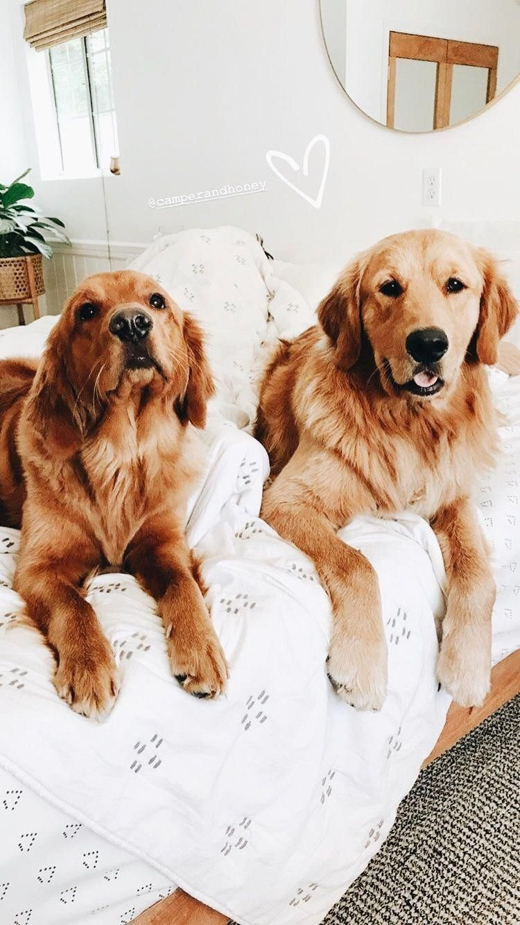 Golden Retrievers Goldenretrievershub Instagram Posts Videos