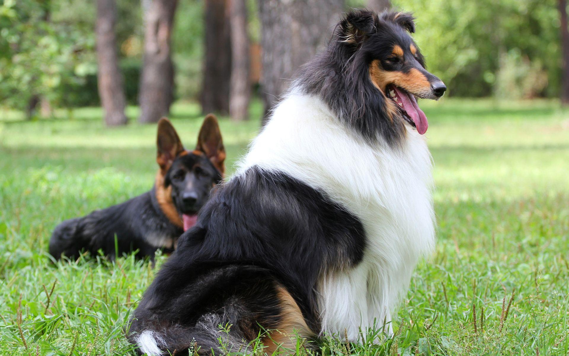 Pastor Escoces Dogs Pet Dogs Sheltie Dogs