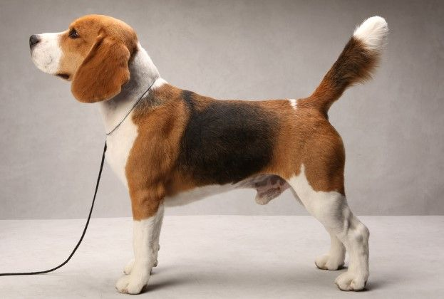 8 Different Types Of Beagles You Should To Know Westminster