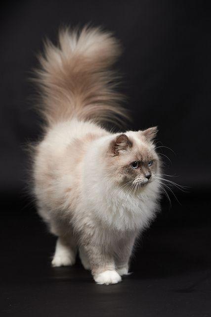 Ragdoll Dieren en huisdieren, Ragdoll katten en Mooie katten