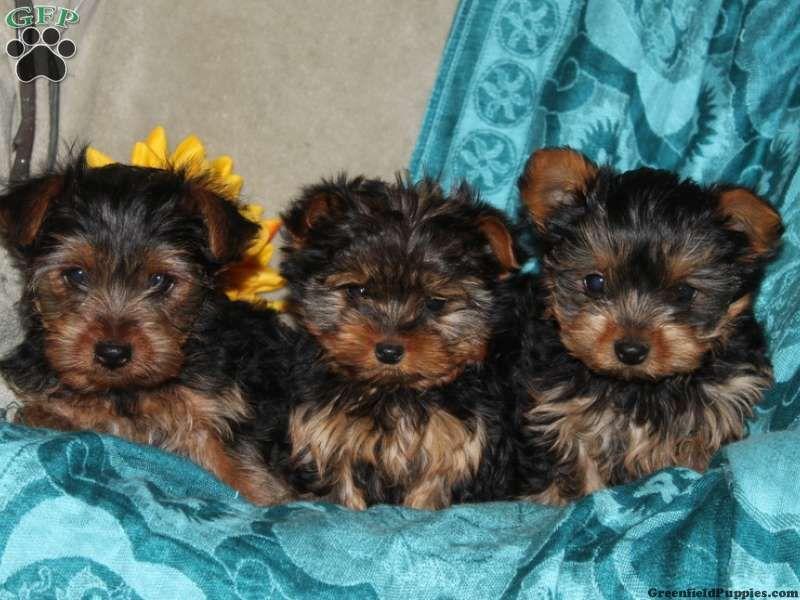 Lance Yorkie Puppy For Sale In Manheim Pa Yorkie Puppy