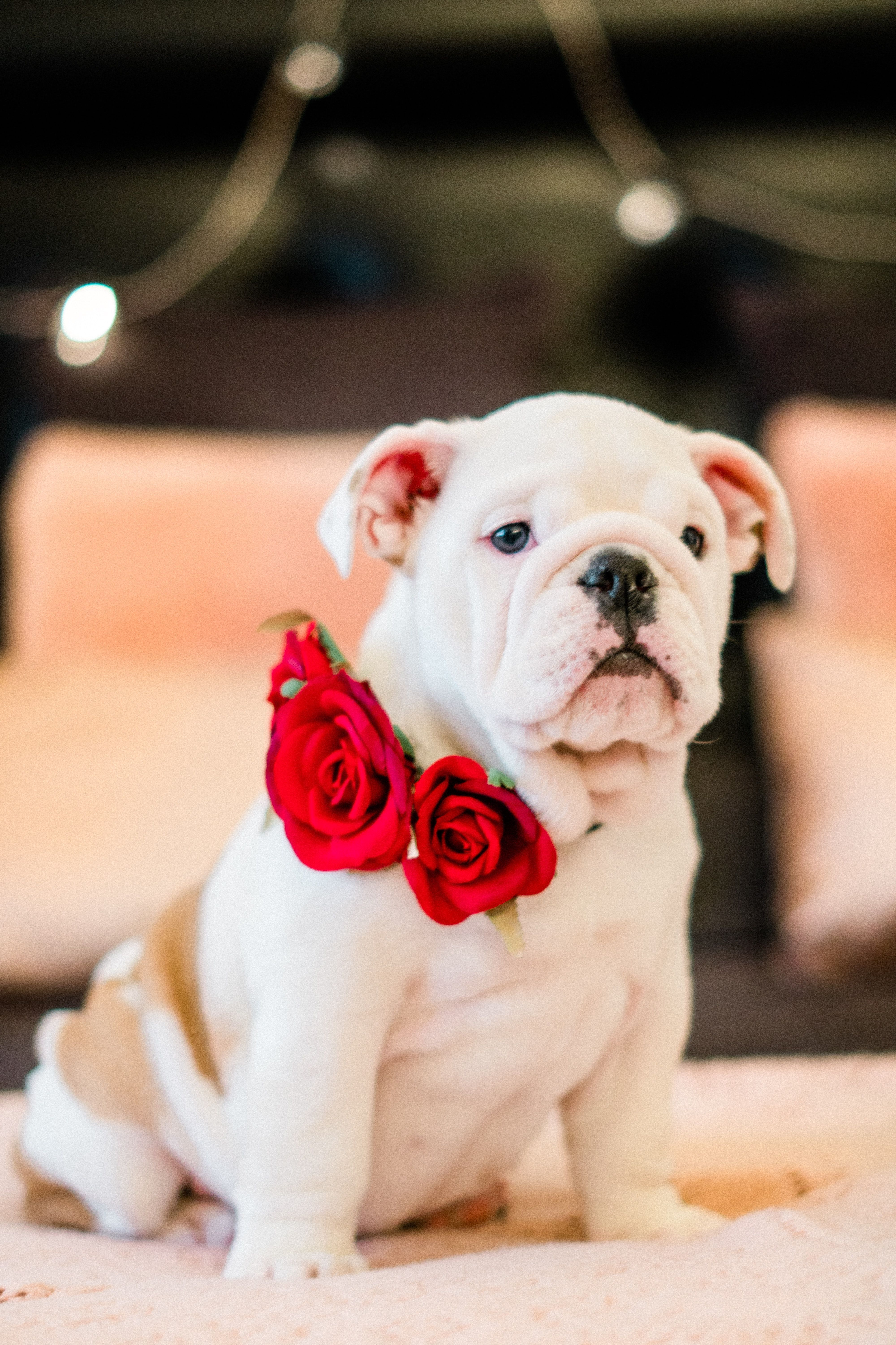 American Bulldog Puppy American Bulldog Puppies Dog