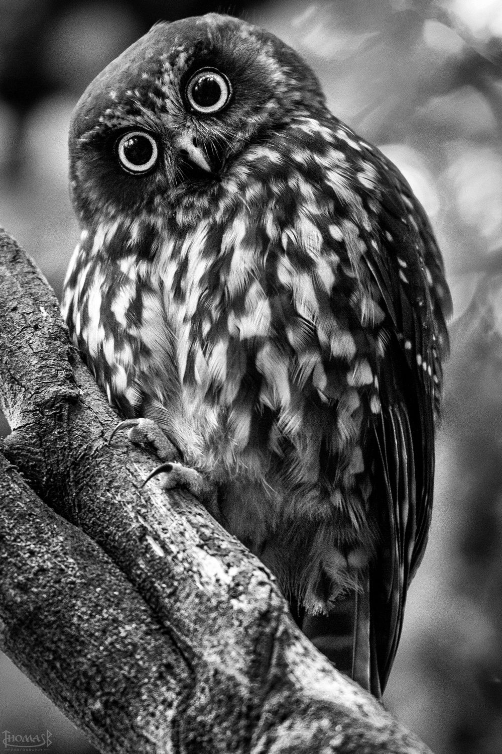 Morepork by Thomas B. on 500px