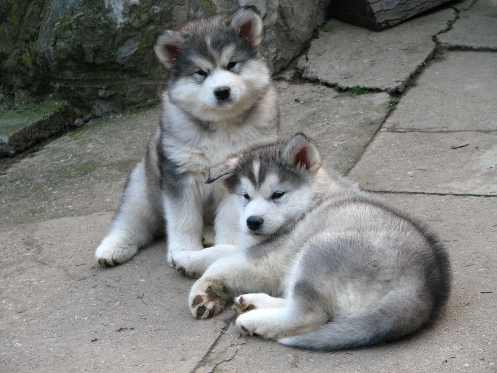Wolf hybrid puppies for sale in ohio - Alaskan Malamute Puppies For Adoption