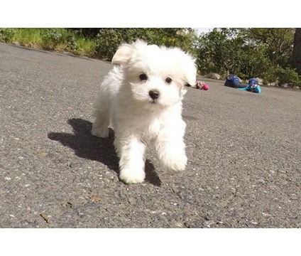 Post Maltese Puppies For Sale Is A Maltese Puppy In Philadelphia