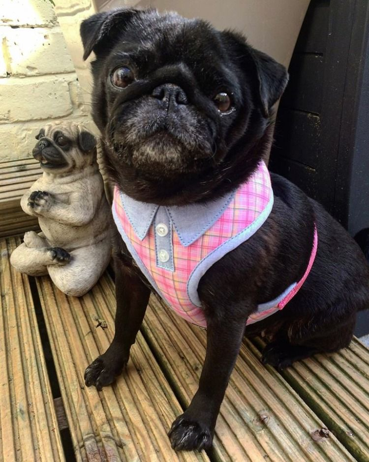 Wagytail Soft Polo Harness Available At Www Ilovepugs Co Uk Sizes