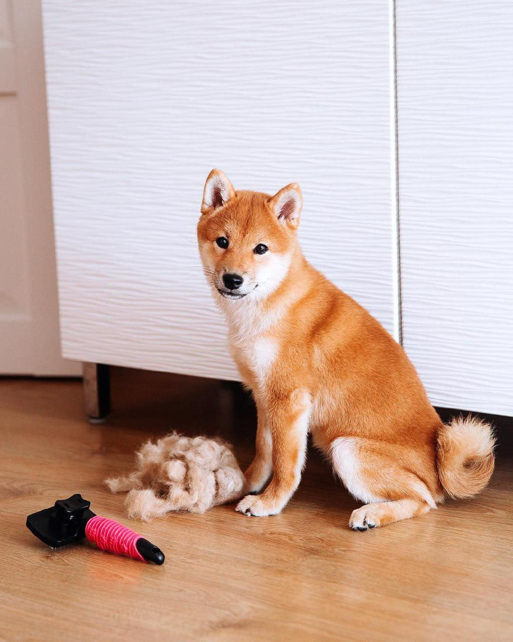 15 Things That You Should Know Before Getting A Shiba Inu In 2020 Shiba Inu Shiba Weiner Dog