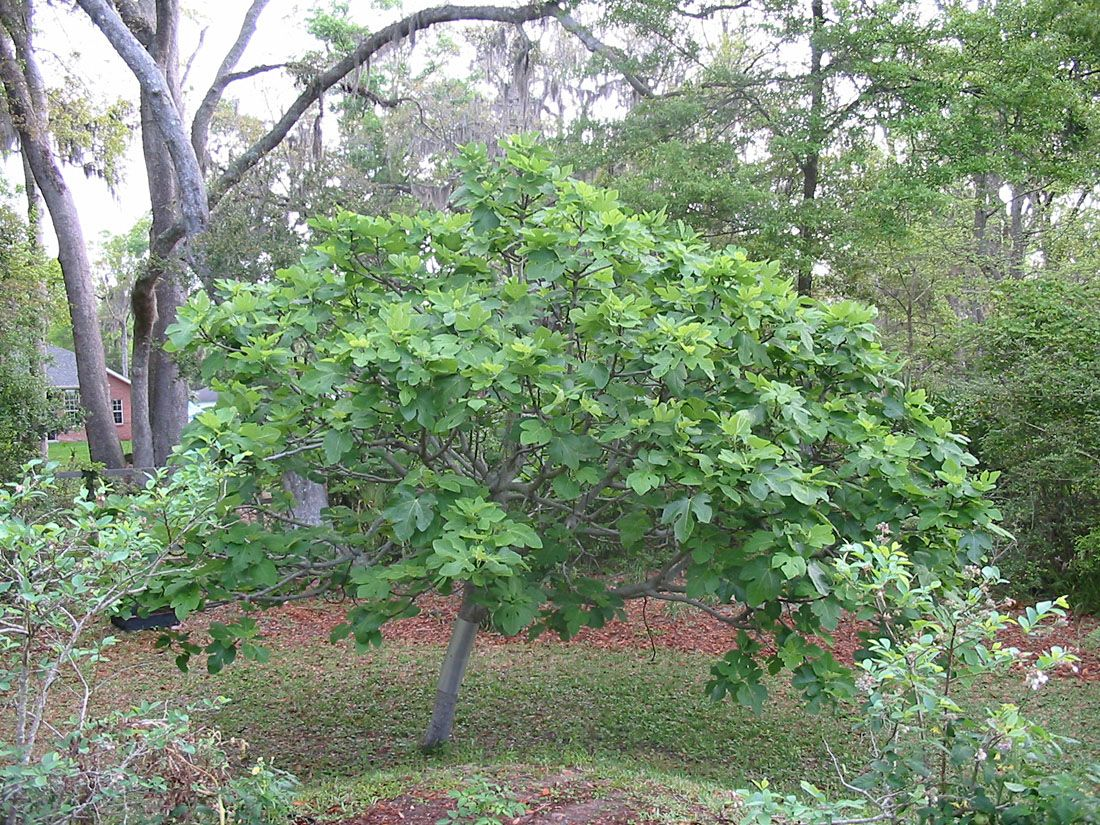 brown turkey fig Plants, Fig tree, Fruit trees