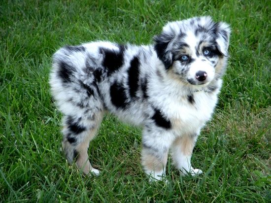 Looks Like Oreo When He Was A Pup But He Had A Tail Australian Shepherd Puppies Shepherd Puppies Aussie Dogs