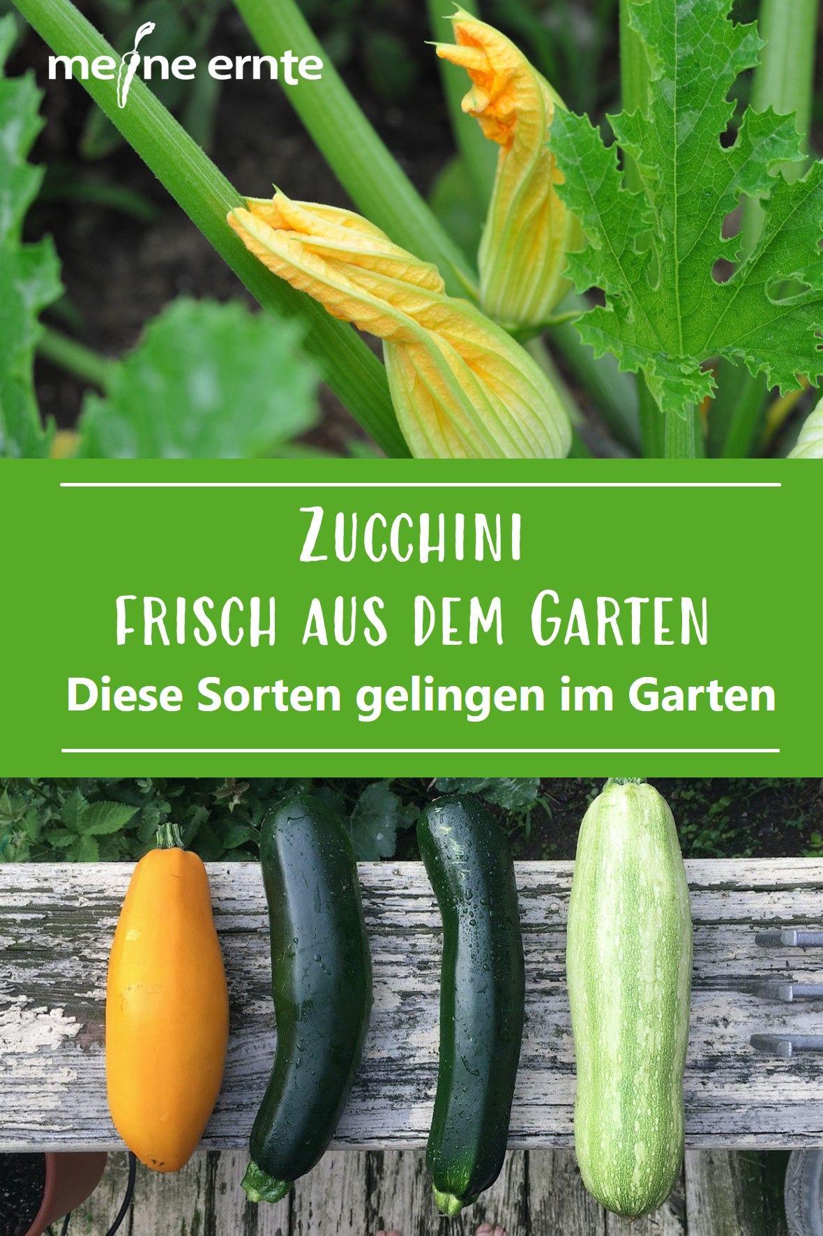 Zucchini Frisch Aus Dem Garten In 2020 Zucchini Garten Bauerngarten