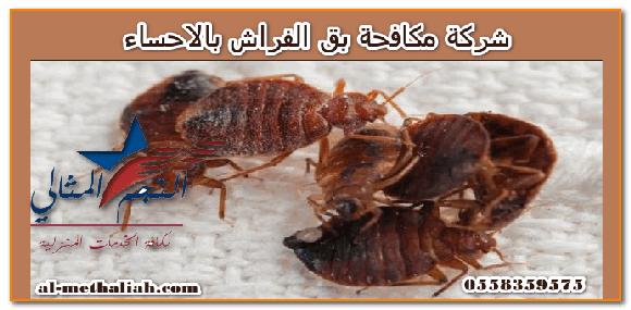 شركة مكافحة بق الفراش بالاحساء مشكلة انتشار الحشرات في المنازل عملية تؤرق جميع أفراد الأسرة وخاصة إذا كان الإنسان نفسه هو مصدر الغذاء لهذه الحشرات Bed Bugs