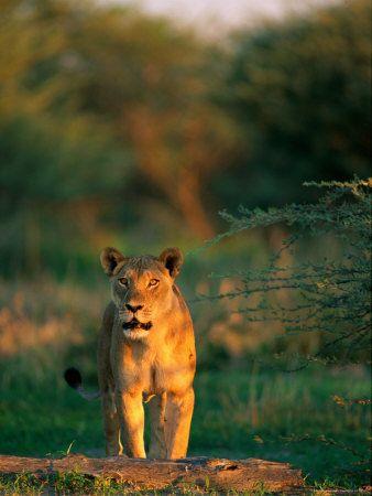 An Alert Lioness Photographed at Savuti