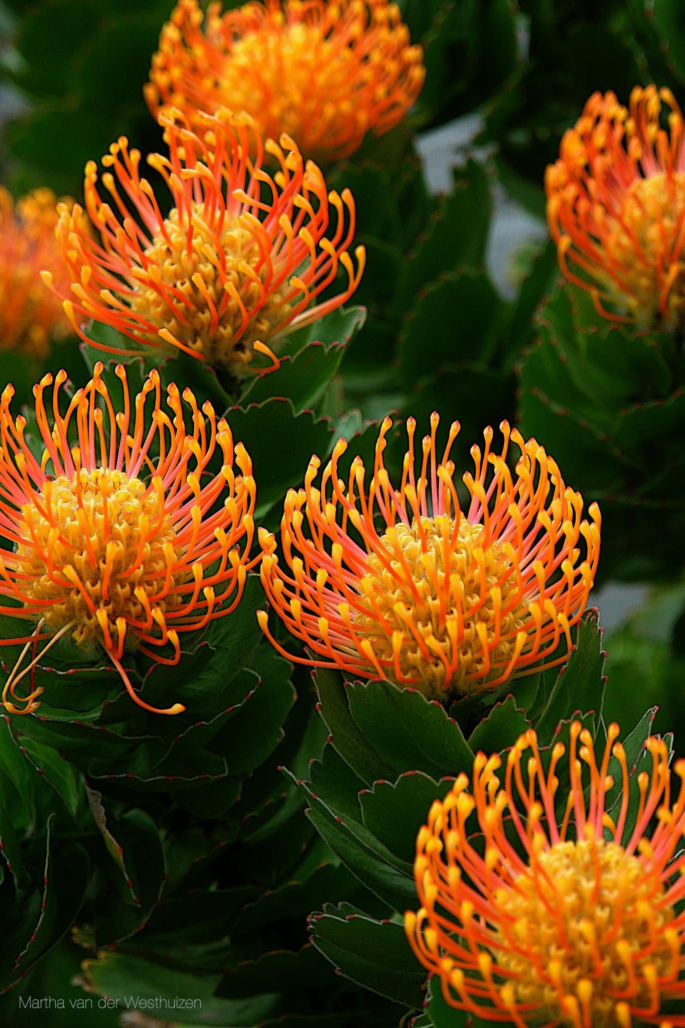I like this orange pincushion at table etc together with proteas