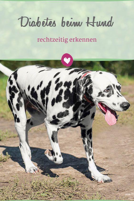 Zuckerkrankheit (Diabetes) bei Hunden ➤Symptome, Ursachen & Behandlung › Veteri