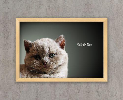 Selkirk rex poster cameretta poster animali stampe for Stampe da appendere