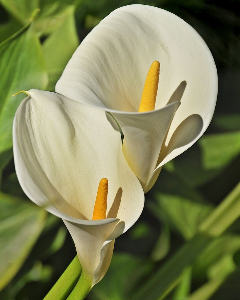 Calla lily duo flowerpictures flowers pinterest calla tips on how to grow calla lilies indoors including how to rebloom the plants after the growing season is done izmirmasajfo