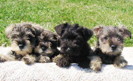 Country Raised Iowa Puppies MiniMac Quality Miniature