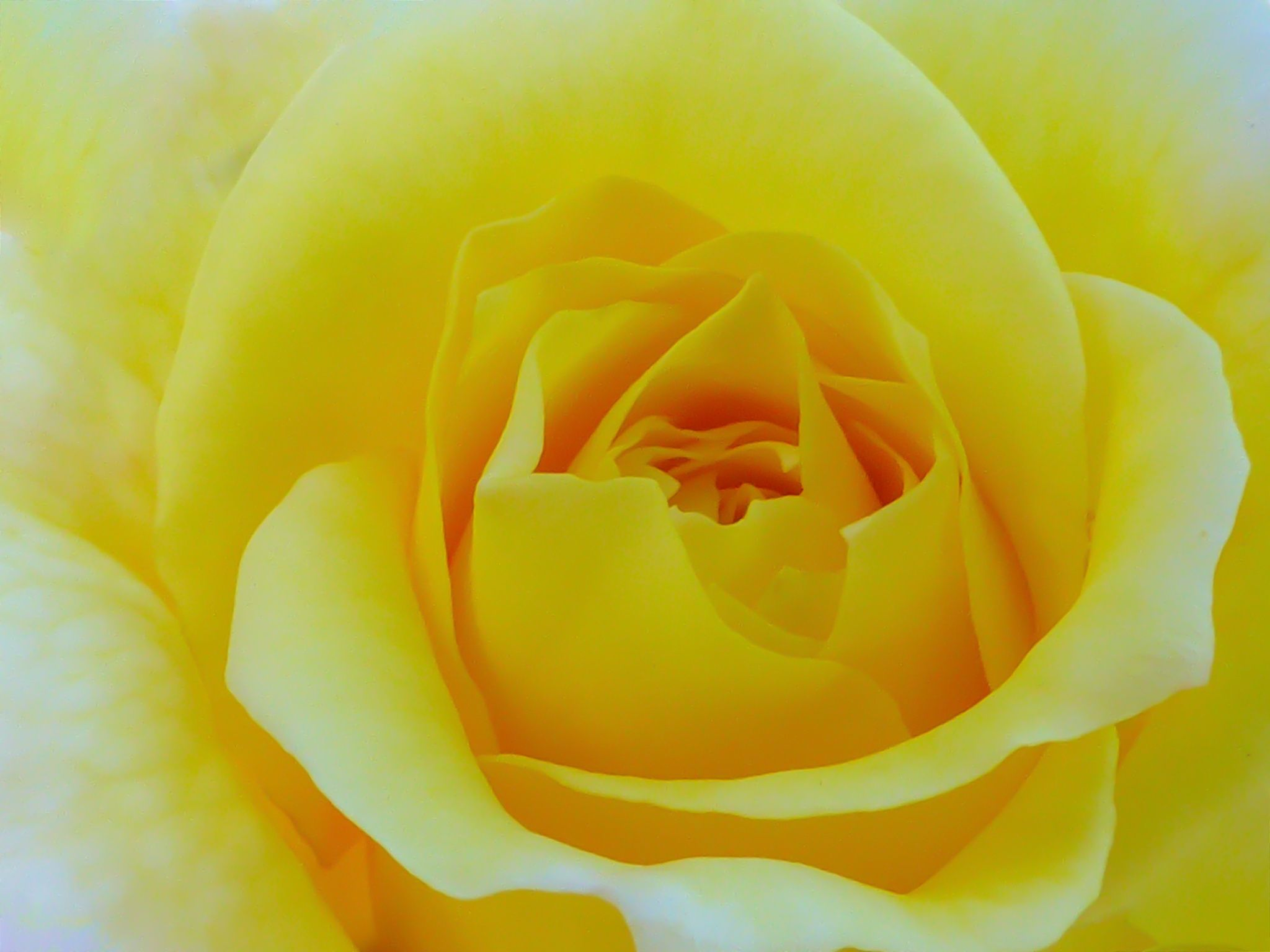 Romantic Rose by Susan  Chan  on 500px #YellowFlowers #FloresAmarillas