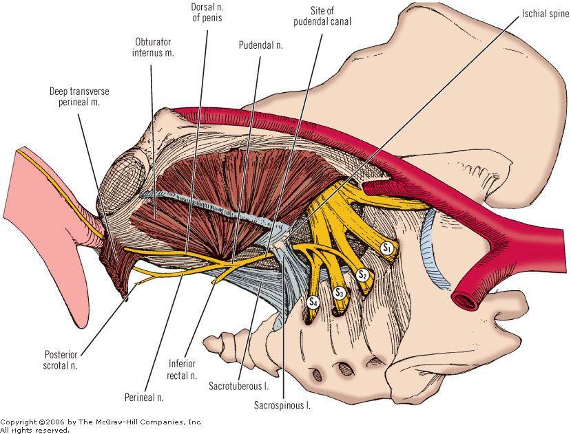 Print: Chapter 28. Pelvis and Perineum | Anatomi | Pinterest