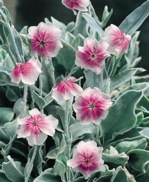 Rose Campion Occulata Winter Hardy Perennial Perennial To Zone 4