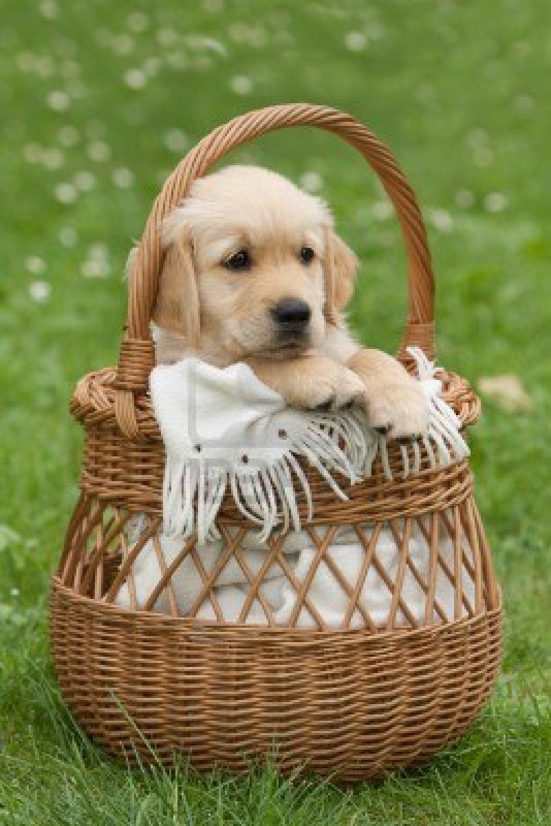 Stock Photo Cute Dogs Cute Puppies Retriever Puppy