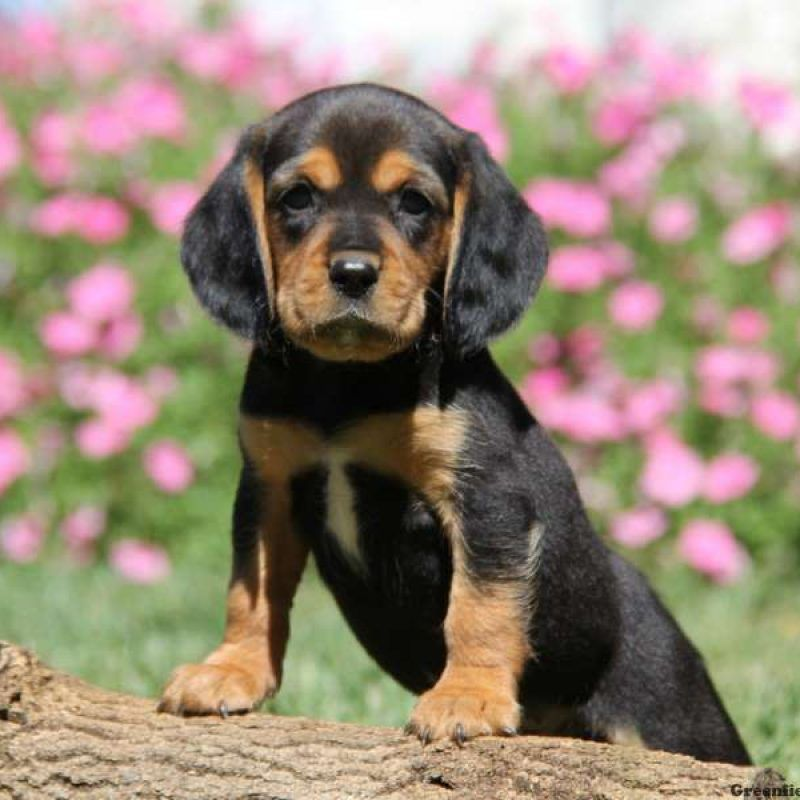 Beaglier Puppies For Sale Beaglier Pups Beaglier Puppies For