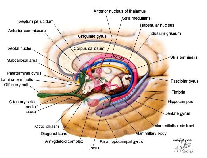 dentate gyrus - Google Search | Anatomy | Pinterest | Brain