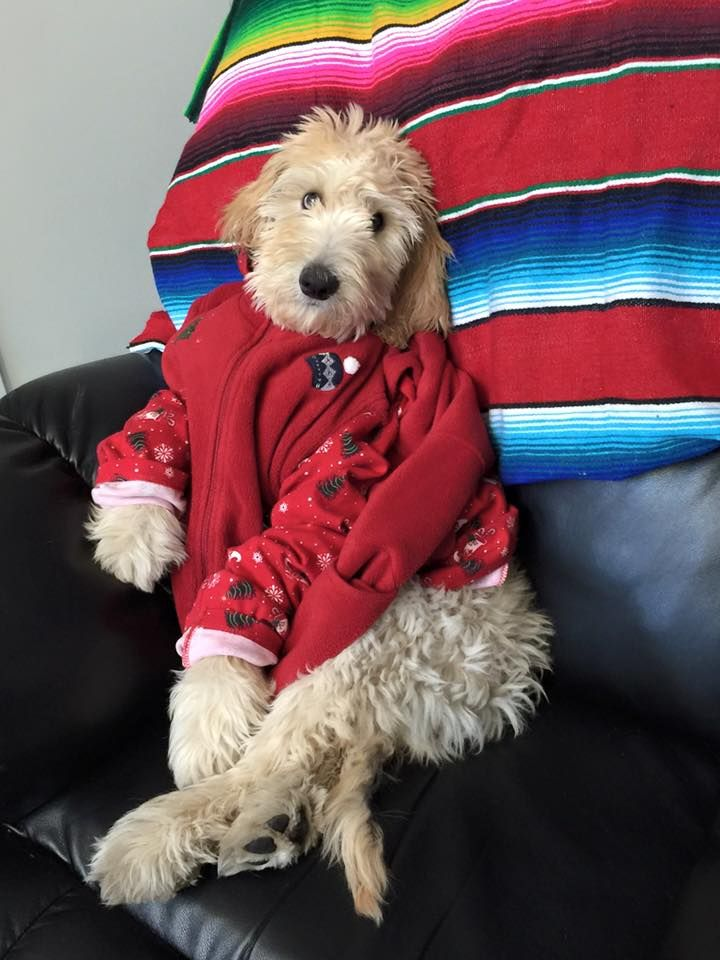 Goldendoodle In Christmas Clothing Goldendoodle Dog Christmas
