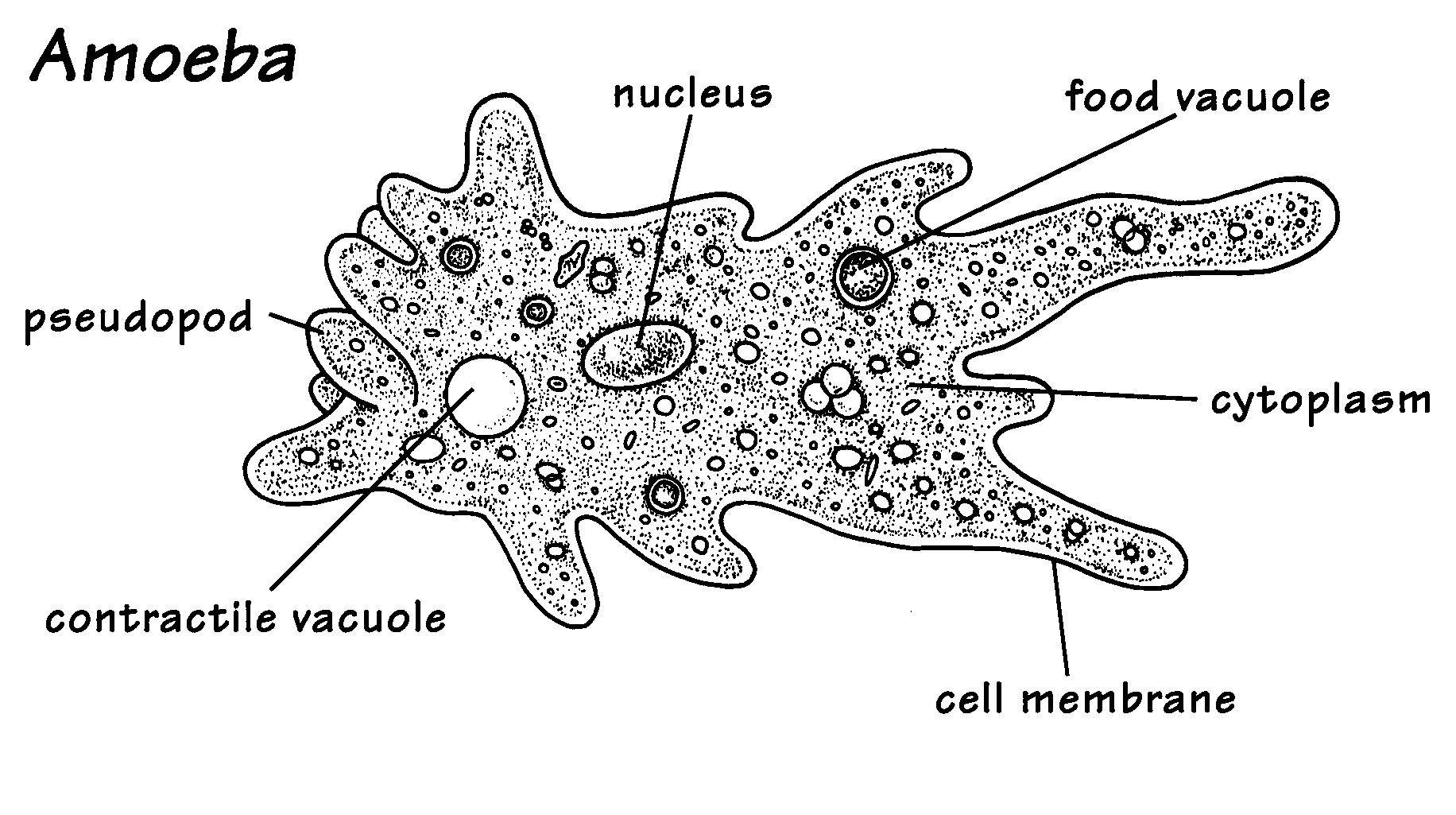 This is a picture of an amoeba, an amoeba is a unicellular organism ...