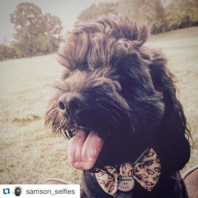 It's always a great day when I get to see my adorable customers in their new gear! #Repost @samson_selfies with @repostapp. ・・・ Proud to show off my new Bow Tie and Dog Tag after a big play in the park 'Handsome as F*ck' courtesy of the amazing Holly @thruffty_pup #dogtag #handsome #bowtie #cute #sweet #messyface #dogsofinstagram #dogfeature #puppy #instadog #cockapoo #funny #park #dogslife #cheeky