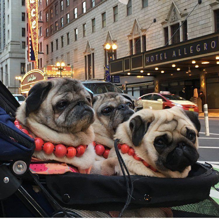 Pugdashians Take Chicago Puglife Pugs Pugs Funny Cute Pugs