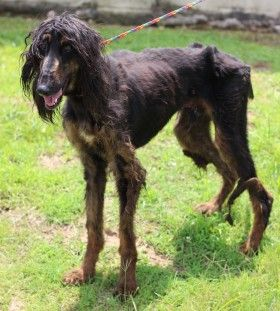 Fabio is a 5 yr old, 45 lb , male Afghan Hound who needs