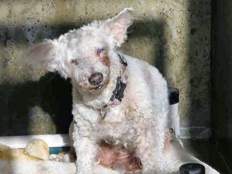 Saddest Little 15 Year Old Bichon Frise Ends Up In Crowded Shelter Bichon Frise Bichon Pet Adoption