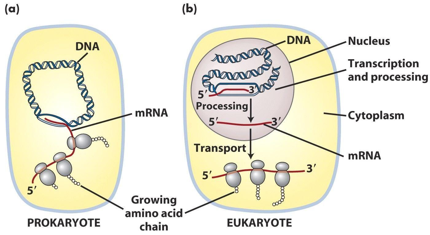 how to prokaryotes create trna