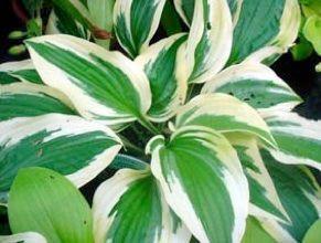 Vivaces ombre hosta 39 patriot 39 feuilles vertes bord es de for Plante verte vivace